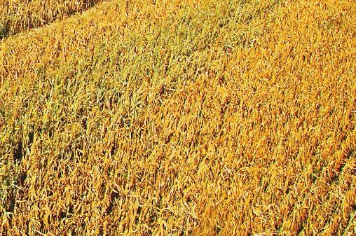 防治小麦赤霉病,选择戊唑咪鲜按增产又增收。