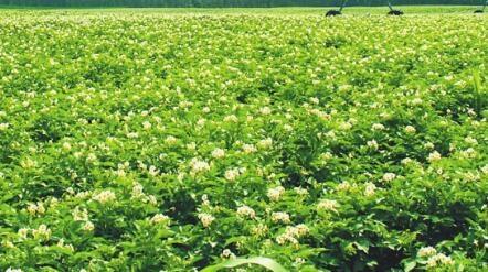 千里马农业分享油菜施肥的技巧