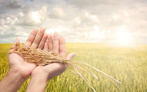 小麦和稻谷最低收购价执行预案